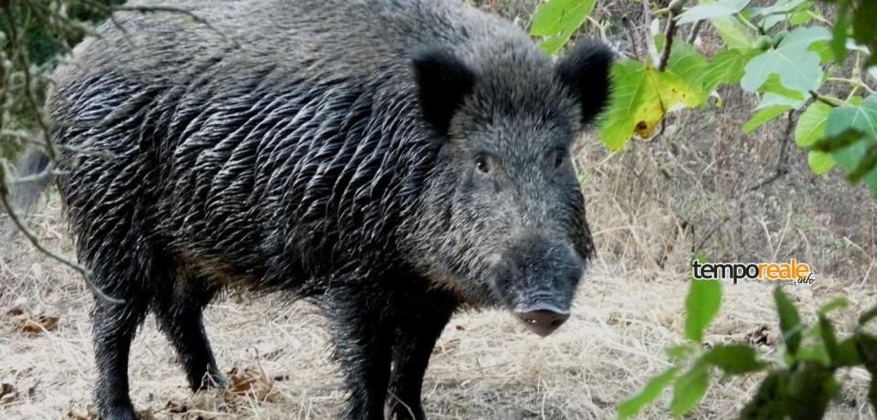 Sant'Elia Fiumerapido / Gli ambientalisti si oppongono all'ordinanza sindacale per l'abbattimento dei cinghiali