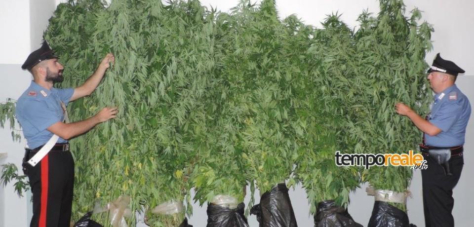 Monte San Biagio / Coltivavano piante di marijuana alte due metri, arrestati due uomini