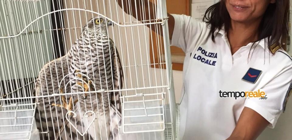 Gaeta / Falco Pellegrino tratto in salvo