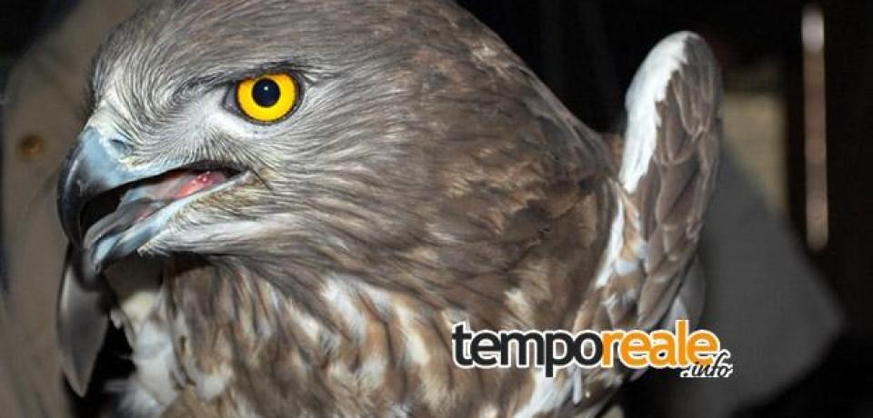 Itri / Recupero fauna selvatica, giovedì torna in libertà uno splendido biancone