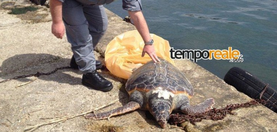Latina / Rinvenuto morto un esemplare di tartaruga marina della specie 'Caretta caretta'