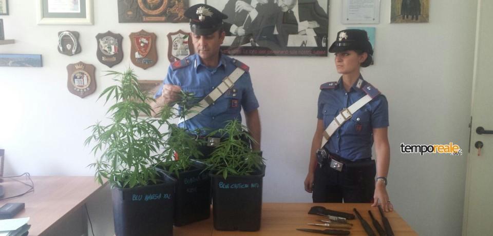 Terracina / Arrestato 26enne in possesso di tre piante di marijuana, coltelli e manganelli