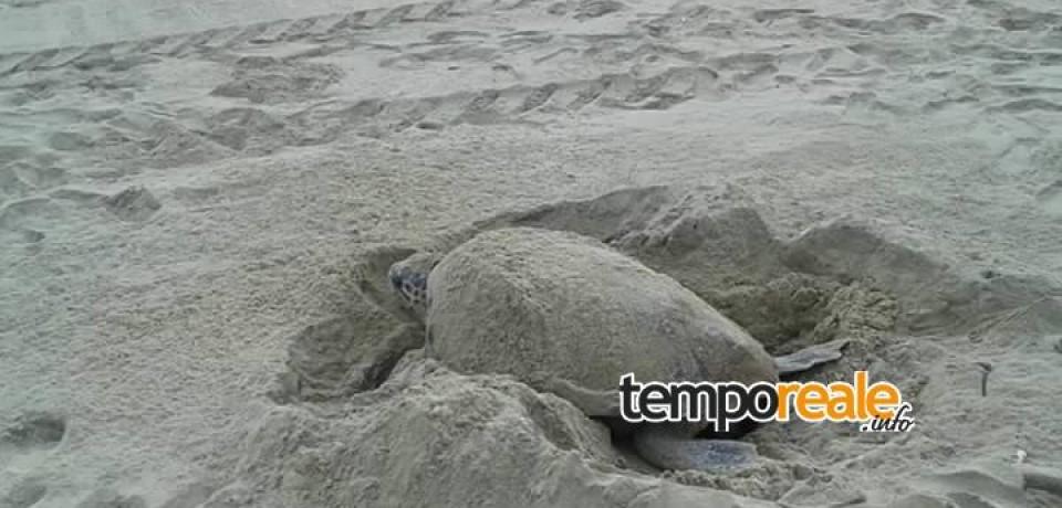 Formia / Nidificazione delle tartarughe nel Golfo, se ne parla stasera sulla spiaggia di Vindicio