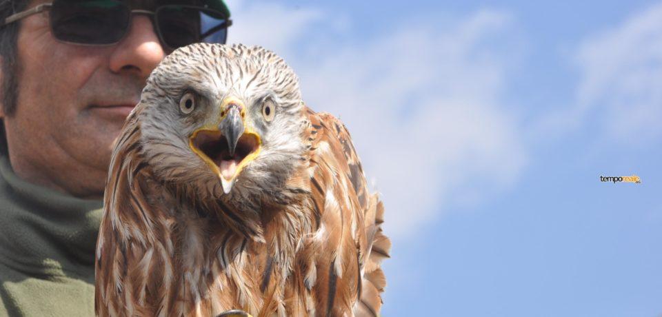 Itri – Nibbio Reale torna a volare #Foto