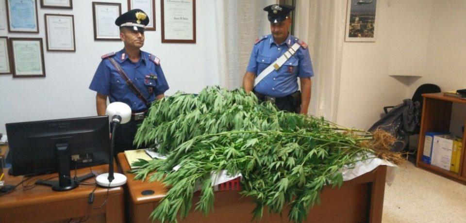 Lenola / Sorpreso a coltivare 21 piante di canapa indiana, arrestato 51enne