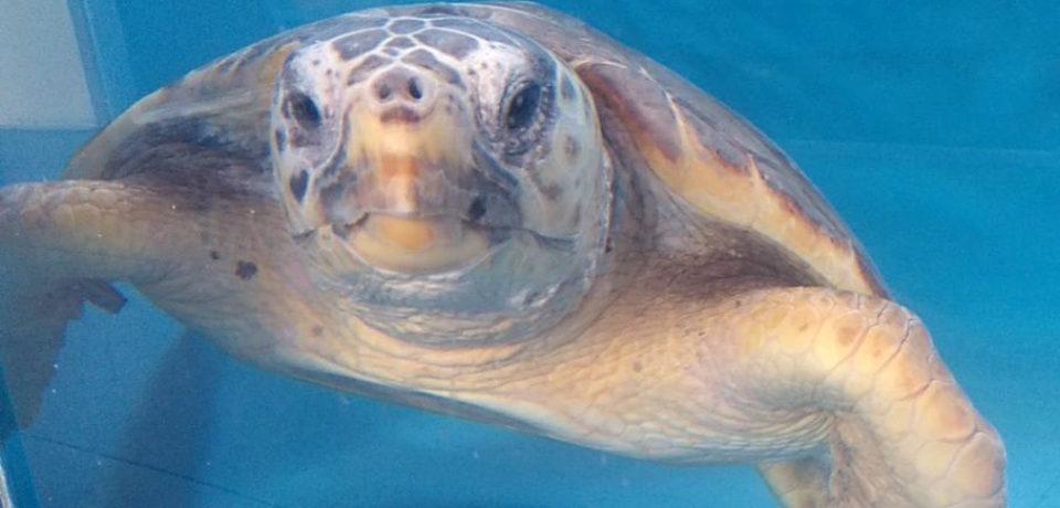 """Minturno / Rilascio in natura di un esemplare di tartaruga marina """"Caretta caretta"""""""