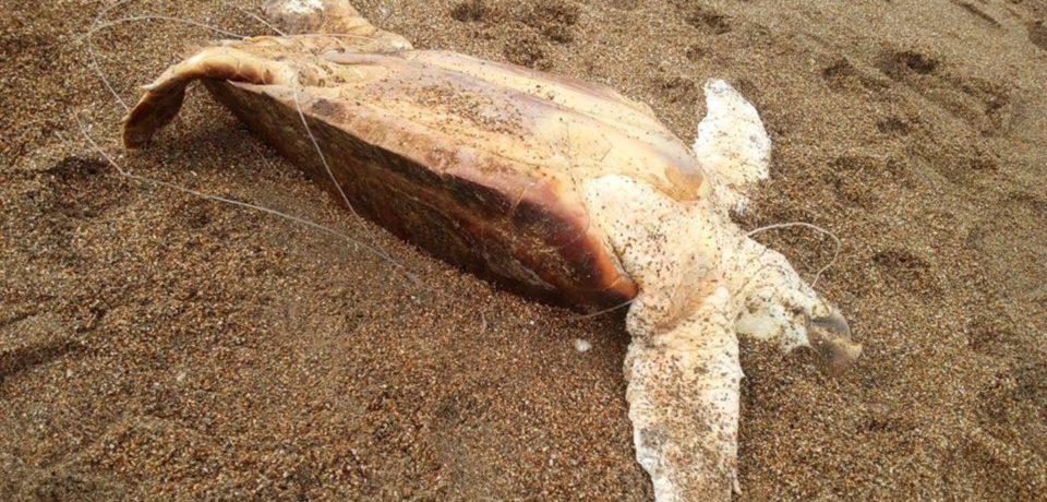 Scauri / Tartaruga ritrovata morta in spiaggia, la denuncia di Legambiente