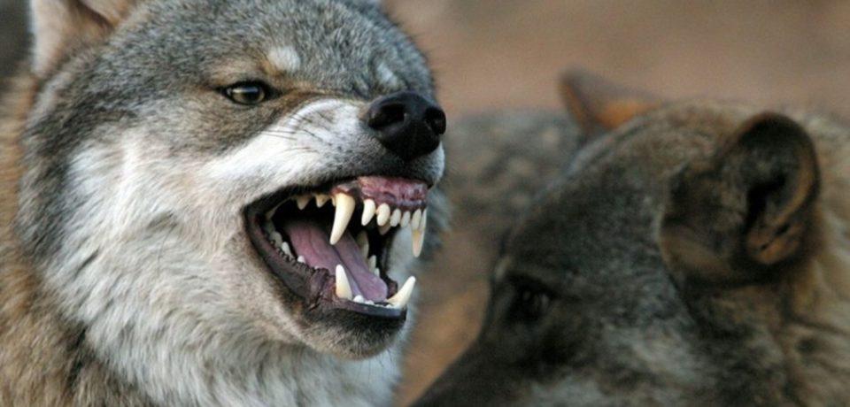 Itri / Nuovo raid dei lupi: pastori esasperati