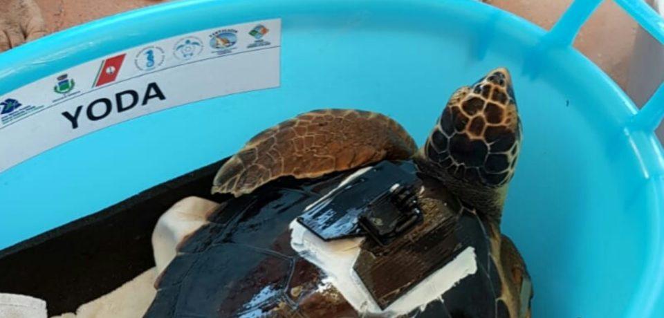 Ventotene / Liberate tre tartarughe marine