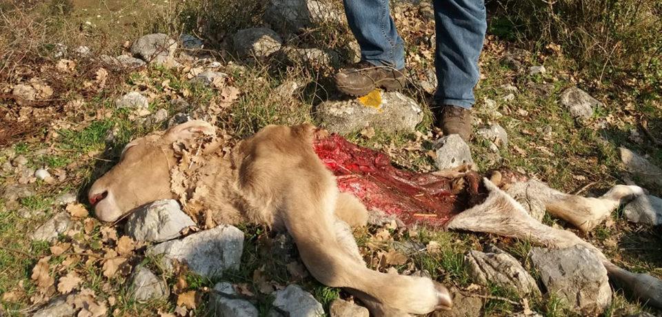 Formia / Dopo un puledro, sbranato anche un vitello sui Monti Aurunci: è allarme