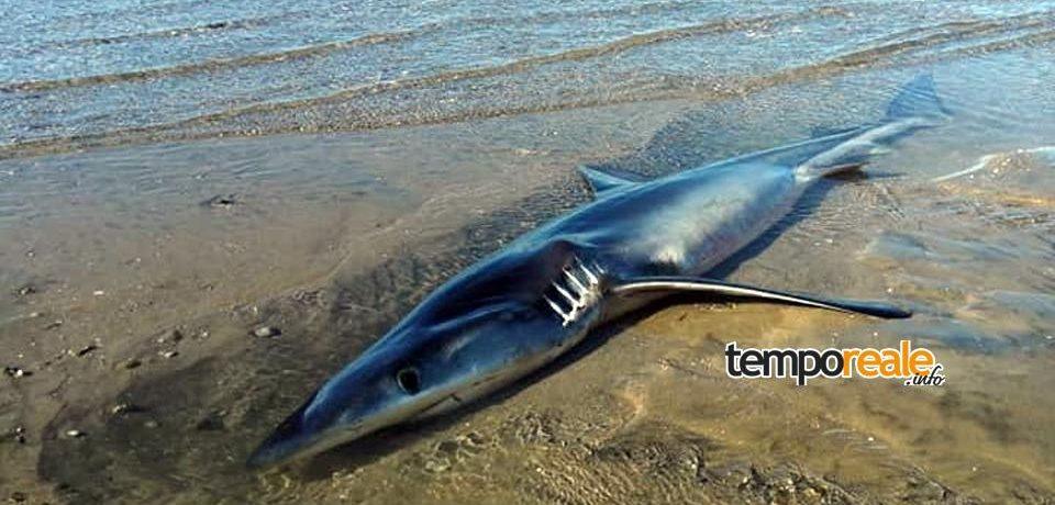 Formia / Squalo azzurro di due metri ritrovato sulla spiaggia [FOTO]
