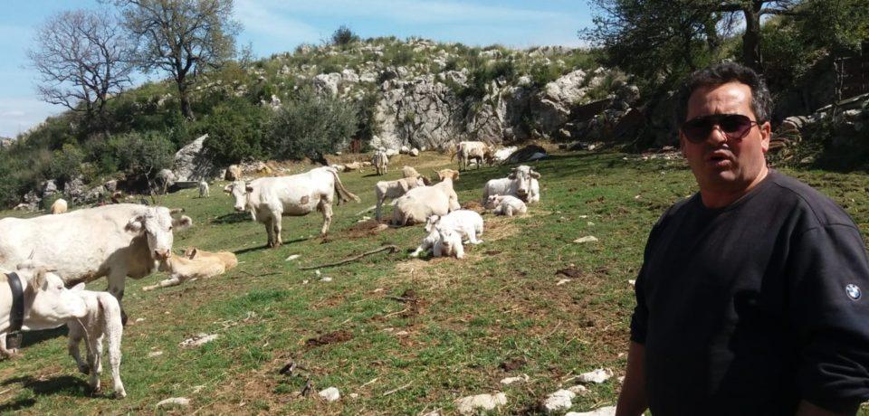 Formia / Terzo assalto dei lupi sui Monti Aurunci, sbranato un vitello