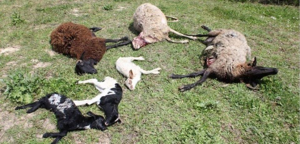 Minturno / Pecore e capre sbranate dai lupi a Solacciano