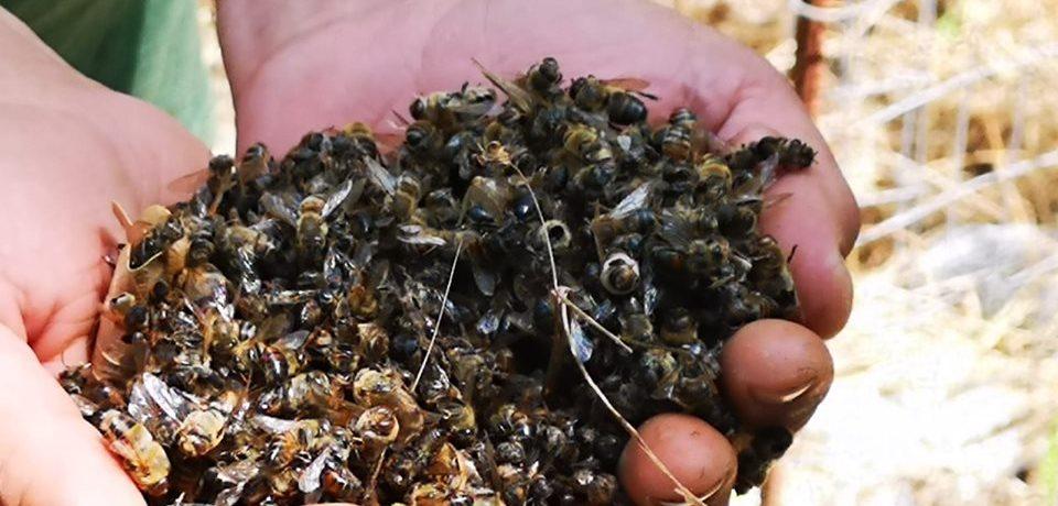 Spigno Saturnia / Strage di api, aperta un'inchiesta per disastro ambientale
